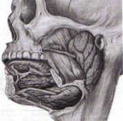 Tavola anatomica ghiandole salivari maggiori