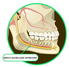 nervo-alveolare-inferiore.jpg