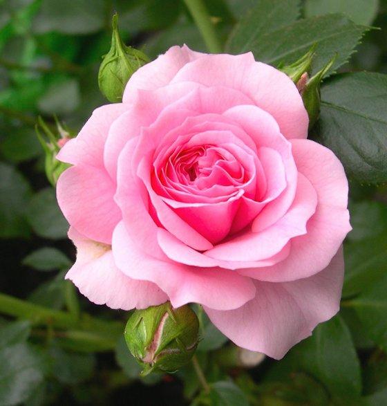 rosarosaprimavera.jpg
