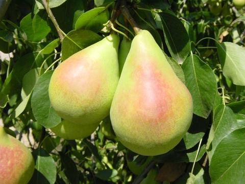 "La pera Coscia dell'Etna è un ""salva-denti"""